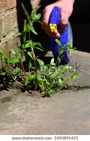 Man spraying weed killer onto a weed growing between slabs on a path