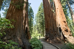 Man standing looking at giant big Red Wood tree in Calaveras big trees state national park in California, US