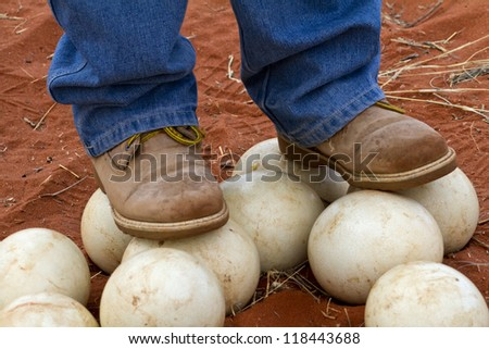 Man stands on ostrich eggs to show how hard they are - stock photo