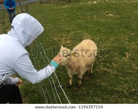Man stroking a sheep #1196397154