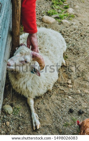 Man stroking a sheep in a nature reserve, Norway #1498026083