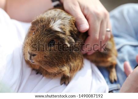 Man stroking brown cute fluffy guinea pig. #1490087192