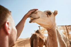 Man stroking happy camel against desert. Wahiba Sands in Sultanate of Oman