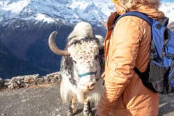 Man take photo on the yak on the mounysin against the backdrop of mountain peaks with snow. Photo on or with animal for money. Exploitation of animal labor concept.