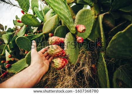 Man touches ripe cactus fruits.