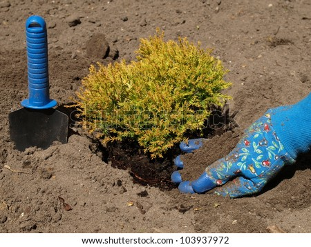 Man transplanting a juniper with the help of spade