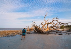 Man walking  at the ocean beach with weathered trees at sunset.  Drift wood are left behind from years of erosion. Driftwood Beach on Jekyll Island, Georgia, USA.