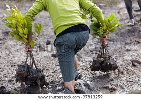 man walking in mud for planting young mangrove tree, Satun, thailand