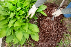 man wearing garden work gloves spreading brown wood chip mulch with shovel under green hosta plant to cover weeds. landscaping, landscape, around, fall, yard, borders, small shovel, trowel, man, word