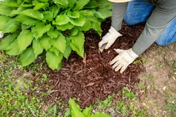 man wearing garden work gloves spreading brown wood chip mulch with spade under green hosta plant to cover weeds. landscaping, landscape, around, fall, yard, borders, small shovel, trowel, man, word