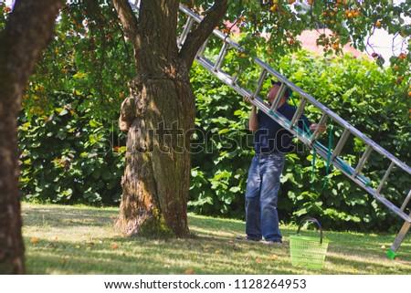 Man with aluminum ladder during harvest season at organic farm. Farmer in his organic farm.