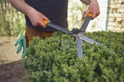 Man with bare hands is trimming a green shrub using hedge shears on his backyard. Gloves are in his pocket. Professional pruning tool. Close up