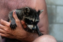 Man with rough and hairy hands holding raccoon baby