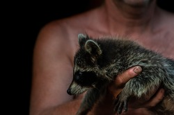 Man with rough and hairy hands holding raccoon baby, black isolated