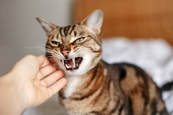 Man woman petting stroking hissing angry tabby cat. Relationship of owner and domestic feline animal pet. Mad savage furry kitten. Scared cat is afraid of stranger.