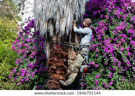 Man working at the top of a palm tree pruning the leaves helping himself  with a well-used rope and steel claws to climb up. Cleaning and cutting palm trees. Man with the chainsaw. Dangerous job. Foto stock ©