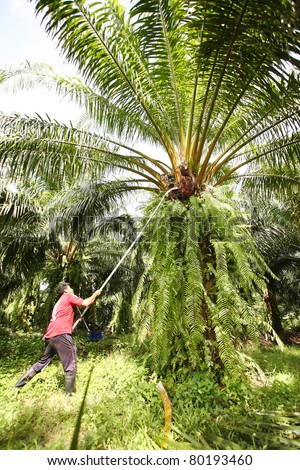 Man working in the palm oil gardent .
