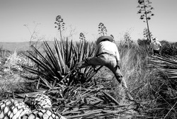Man working on agave cutting for the tequila industry. Black and white.