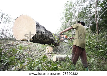 how to cut down a rubber tree