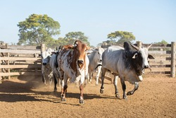 Management of Nellore cattle on a farm in the Pantanal Sul Matogrossense
