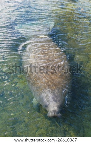 Manatee coming out for a breath of air