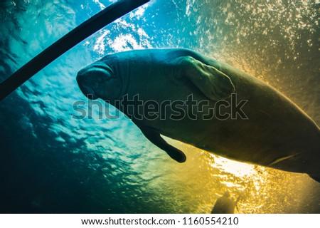 Manatee under water in aquarium