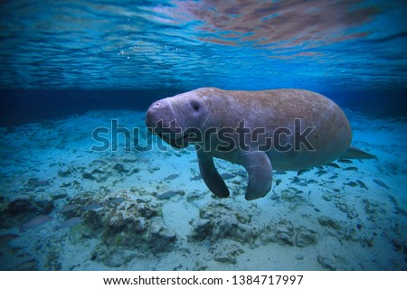 Manatees , Crystal River , Florida, Hot Springs