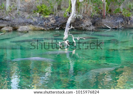 Stock Photo Manatees under clear water