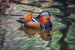 Mandarin duck.