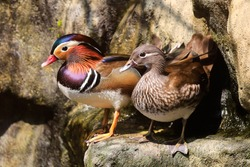 Mandarin Duck, Aix galericulata, swimming in a small pond.