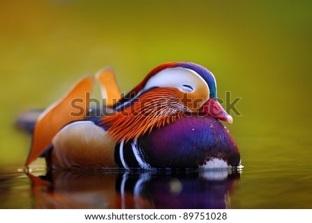 Mandarin duck floating and calm on the water