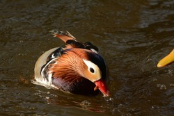 Mandarin Duck male. Aix galericulata. Durham, NC. 22 Nov. 2014