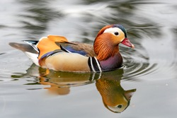 Mandarin duck on the lake in England