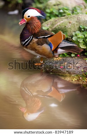 Mandarin Duck with water reflection