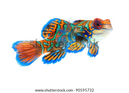 mandarin fish dragonet isolated on white background