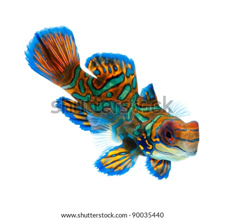 mandarin fish isolated on white background