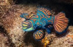 Mandarin fish, Raja Ampat, Indonesia.