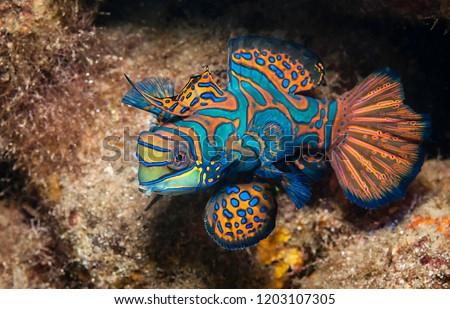 Mandarin fish, Raja Ampat, Indonesia. #1203107305