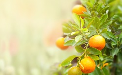 mandarin fruits on a tree, background