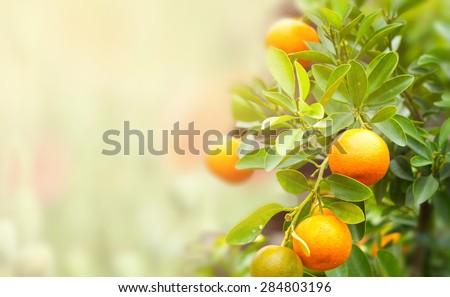 mandarin fruits on a tree, background