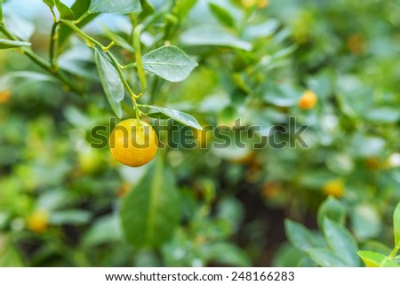 Mandarin orange, also known as mandarin or mandarine, is a small citrus tree with fruit resembling other oranges.