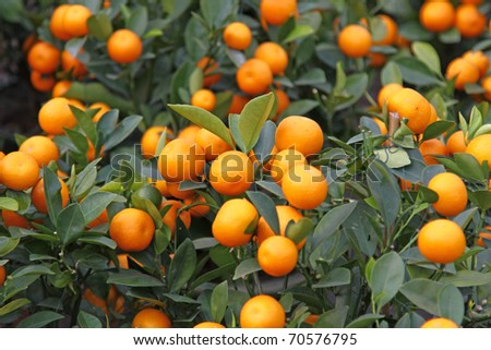Mandarin orange on sale for Chinese New Year use