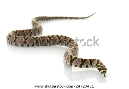 Mandarin Rat Snake (Elaphe Mandarina) isolated on white background. - stock photo