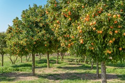 Mandarin tree (Citrus reticulata) with tangerines on its branches on a sunny day. Citrus cultivation in the interior of the island of Mallorca, Spain