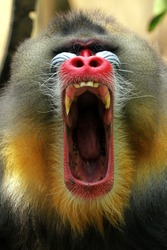 Mandril monkey closeup face with open mouth, Mandrillus sphinx, animal closeup