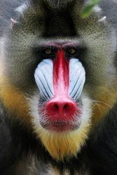 Mandril, monkey mandril, Mandrillus sphinx closeup face