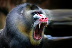 Mandril, monkey mandril open mouth