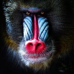 mandrill close-up portrait (Mandrillus sphinx)