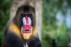 mandrill looking in the camera