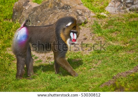 Mandrill (Mandrillus sphinx). Photo depicts primate with olive-colored fur and the colorful face.